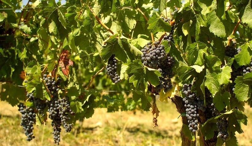 Plantação na vinícola Montefioralle Winery