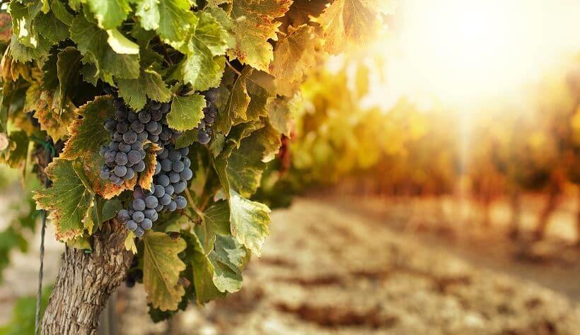 Cacho de uva em plantação