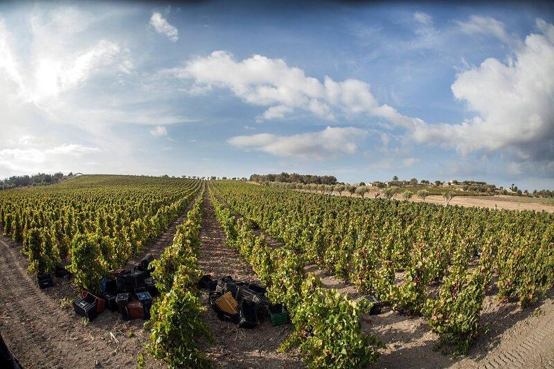 Plantação na vinícola Marabino