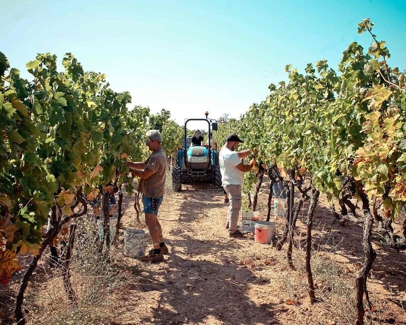 Plantação da vinícola Plantamura